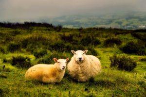 Sheep sitting in field