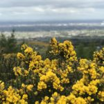 Bushes with yellow flowers against the backdrop of Dublin City far away